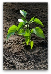Easy Tips For Growing Jalapeno Peppers At Home