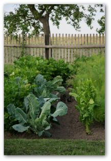 vegetable garden with cabbage plants growing