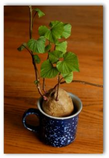 sweet potato plant growing in a cup