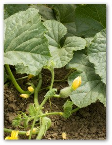 pumpkin plants growing in the garden