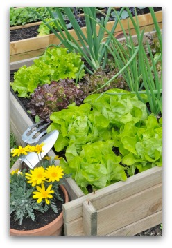 raised garden with lettuce and onions