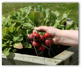 radish freshly picked from a raised vegetable garden bed