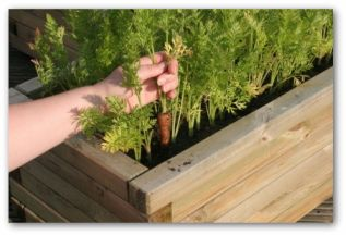 All About How To Grow Carrots