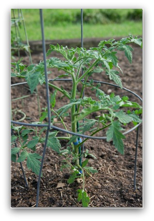 tomato plant growing in cage