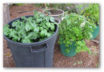 growing potatoes in a garbage can