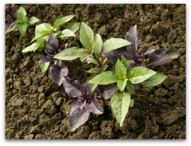 small basil plants growing in the garden