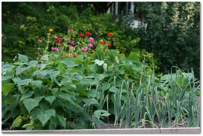 growing bush beans in a flower bed