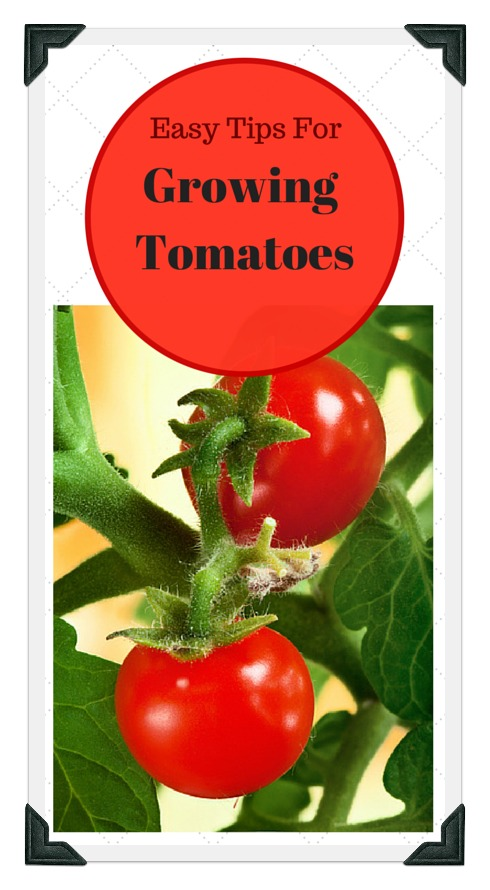 Growing tomatoes in your vegetable garden for Tomato gardening tips