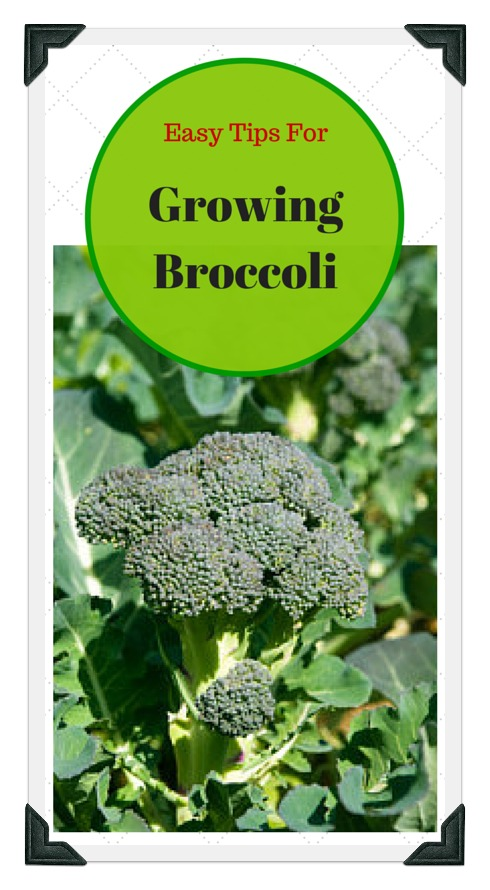 Easy Tips For Growing Broccoli Successfully At Home!