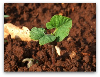 healthy garden soil with bean plant sprouting