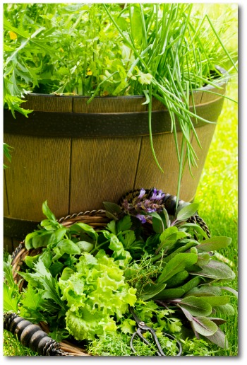 growing lettuce in barrel container garden