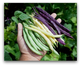 green beans yellow wax and purple beans