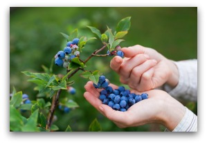 Harvesting Blueberries from the Garden