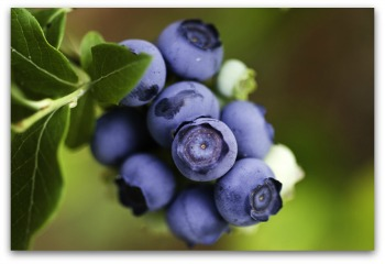ripe blueberries ready for harvest