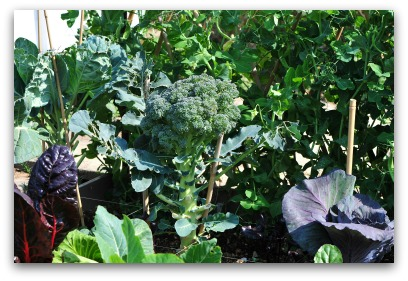 Purple Cabbage and Purple Swiss Chard add Color to Ornamental Garden