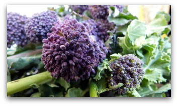 growing purple broccoli