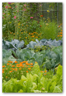 beautiful vegetable garden with marigolds