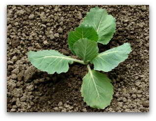small cabbage plant sprout