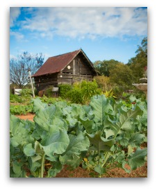 growing collard greens in the garden