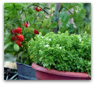 growing basil in containers