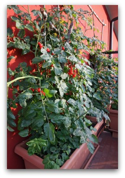 balcony container garden with tomatoes