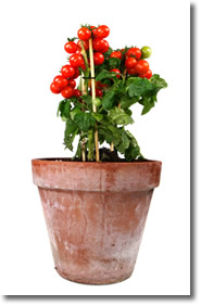 container vegetable gardening tomatoes