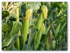 sweet corn growing in the garden
