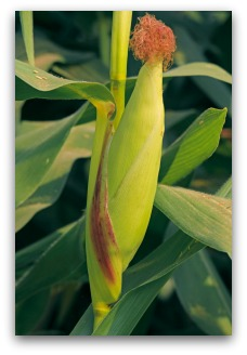 Almost-Ripe Ear of Growing Corn