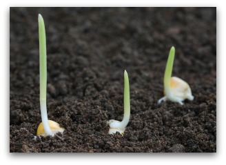 Sprouted Corn Seeds