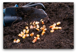 Sweet Corn Seed Ready to Plant in the Garden
