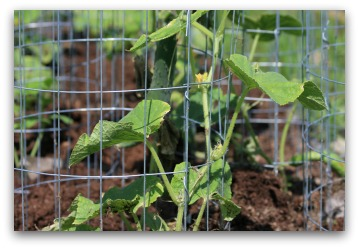 cucumber growing in cage