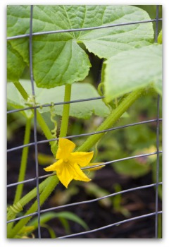 planting cucumbers using a wire fence trellis