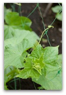 cucumber plant growing on trellis