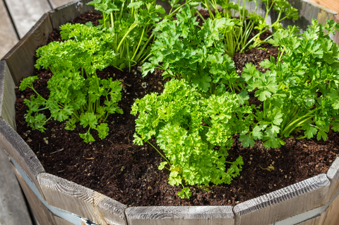 growing parsley in a container garden