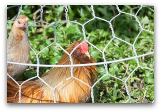 chicken wire cheap garden fence