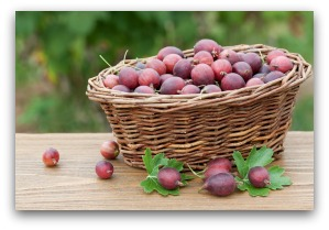 freshly picked gooseberries