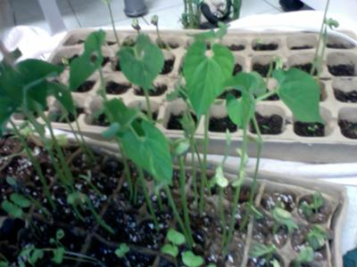 Green Bean Seedlings Grown Indoors