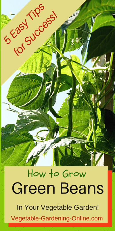5 easy tips for sucess growing green beans