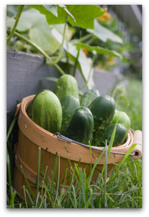 Fresh picked cucumbers in a basket