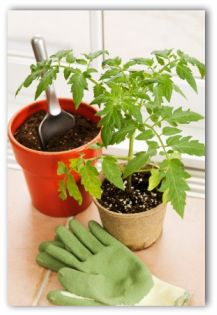 tomato plant and trowel and gardening gloves