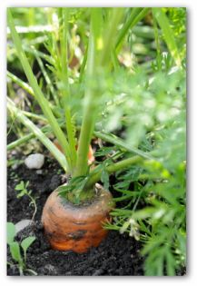 Growing carrots planting carrots and how to grow carrots