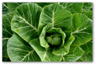 growing collard greens