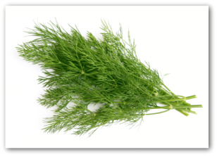 Planting Dill For Use As A Culinary Herb
