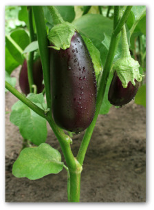 eggplant growing on the plant