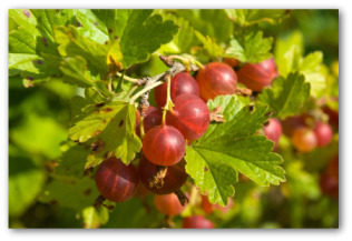fresh gooseberries growing on the plant