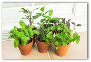 herbs in pots growing on a window sill