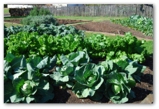 kale and cabbage growing outside in a vegetable garden