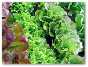 different varieties of leaf lettuce growing