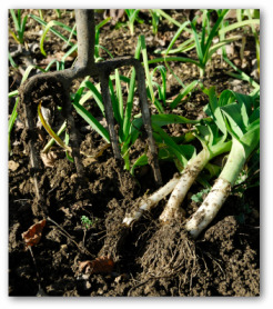 growing leeks