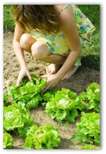 woman and lettuce growing in the ground